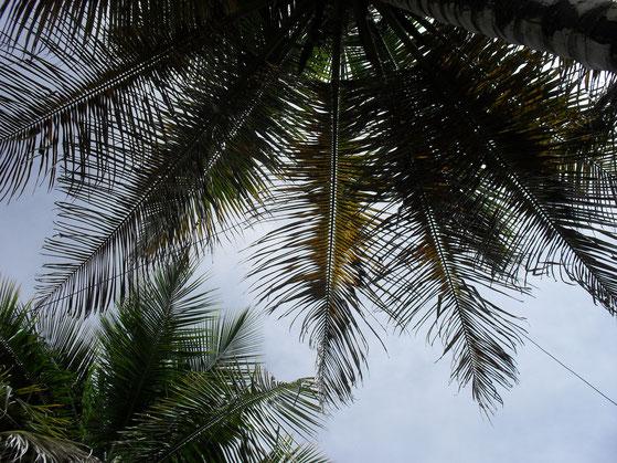 La delta antenna appesa in  cima all'albero di  cocco