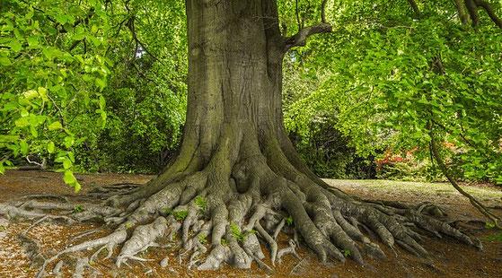 alte Bäume haben viel Kraft und eignen sich besonders zum Baumkuscheln