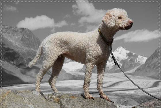 Foto: M. Bellwald/ Lagotto Wallis