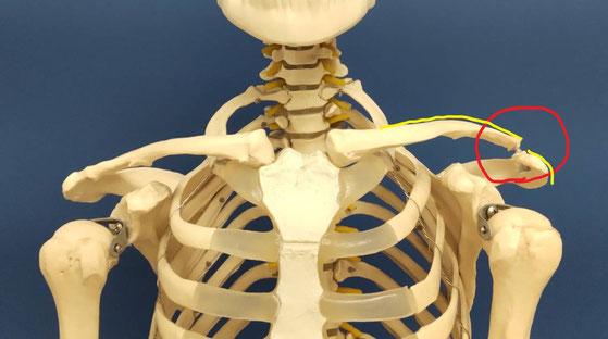 肩鎖関節の解説画像