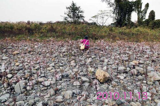 6年前。土砂の堆積はなく、多数のカワラノギクが咲いていた。 クズの侵入もなかった