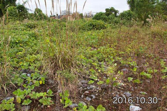 2016年10月30日撮影。 ここは当時からカワラノギクが少なかったが、他の植物も多かった。