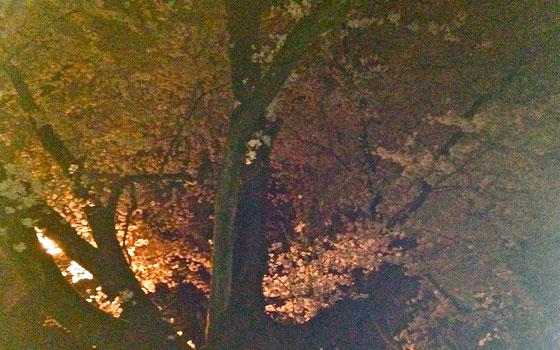 朝、見に行く余裕がなかったので夜桜を。-2015年@稲荷山公園