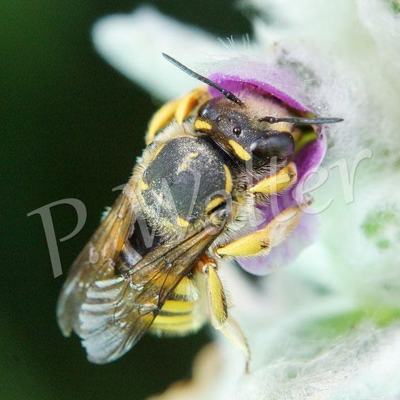 04.09.2015 : letzte Garten-Wollbiene am Woll-Ziest (sie lief nur noch von Blüte zu Blüte, zum Fliegen zu kraftlos ...)