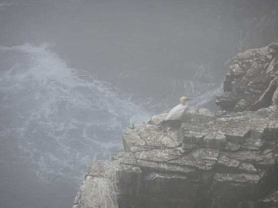 Blick auf einen Tölpel und die Felsen in Neufundlands Cape St. Mary's Ecological Reserve.