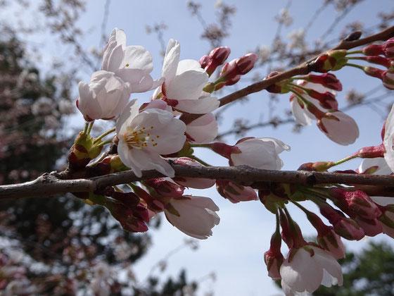 Die ersten Blüten öffnen sich an den Sakura-Kirschbäumen in Torontos High Park.