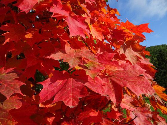 Herbst in Quebec: Dieser Ahorn hat sich für die Fall Colors (Indian Summer) in Schale geworfen.