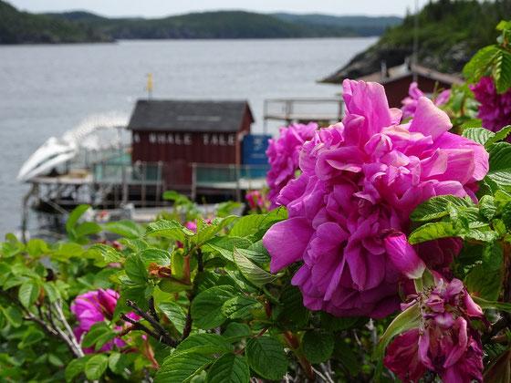Kleine Impression aus Twillingate, eingefangen am Fischereimuseum am Anfang der Insel.