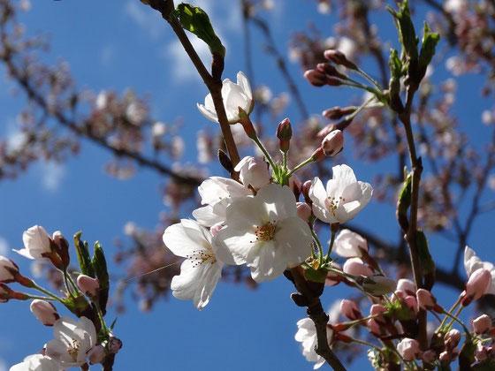 Kirschblüte in Toronto: Im Queen's Park hat sie schon begonnen.