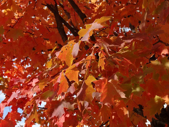Fall Colors (Indian Summer) in Ontario: Rote Ahornblätter im Algonquin Provincial Park.