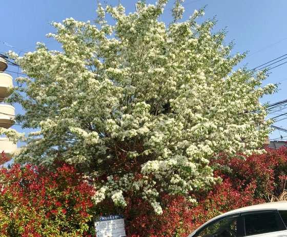 ☆白い花がなんじゃもんじゃの木。