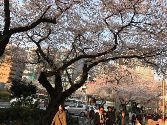 ☆JR中央線国立駅南口ロータリーの桜。