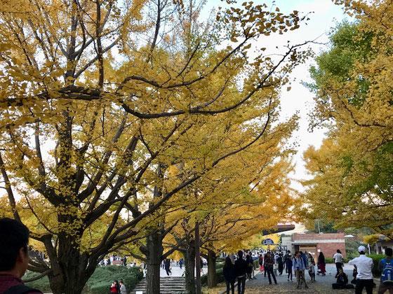 ☆20分の駆け足散策。ただいま16:37立川口に向かって移動中。銀杏並木がきれいでした。
