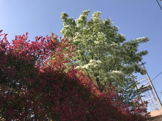 ☆自宅近くのなんじゃもんじゃ通りの「なんじゃもんじゃ」。上の方の白い花のついた木。