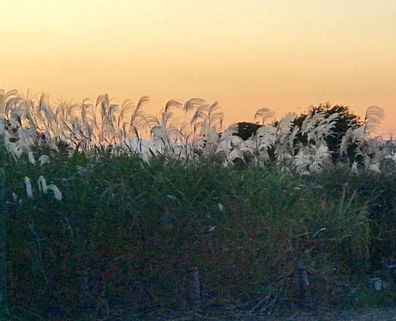 ☆立川口に向かっています。ただいま17:00。夕日にススキが幻想的。
