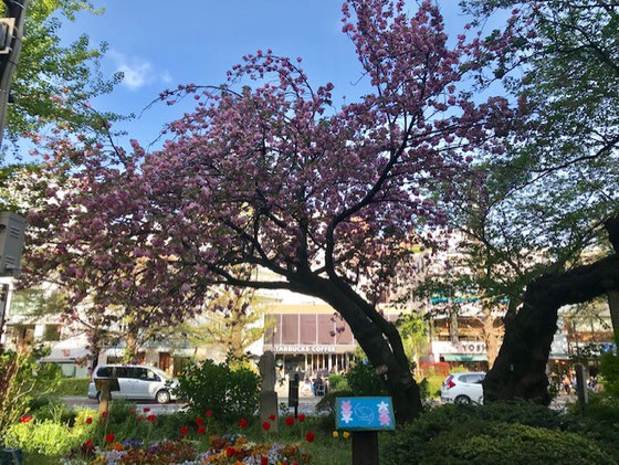 ☆国立駅南口ロータリの南側の桜。先週の土曜日にはまだ楽しめました。ちょうど旧駅舎の反対側。