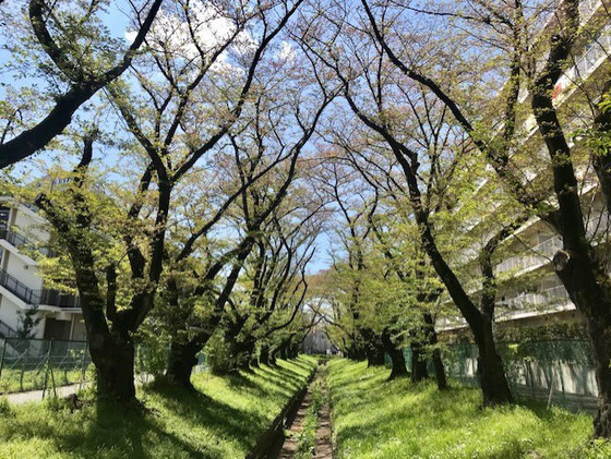 ☆いつの間にか桜が若葉に。真ん中の水路はコンクリートで固めた仙川です。