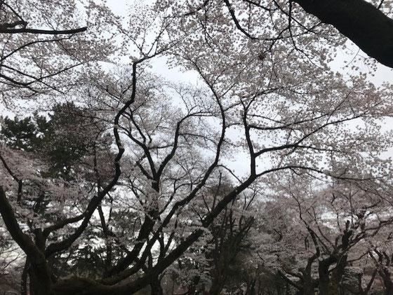 ☆あいにくの曇り空。まだ少し早かったが小金井公園の桜。