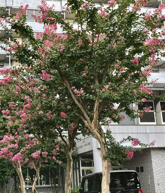 ☆大沼公民館の入り口にはこんな立派な百日紅(サルスベリ)が花を咲かせていました。