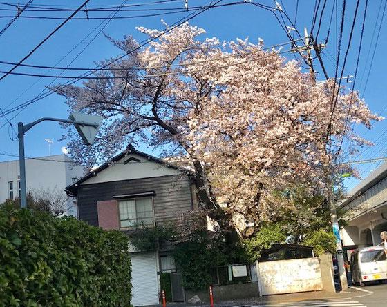 ☆砧図書館の南側の三差路の左の民家の庭の桜。立派です。右は小田急線の高架。