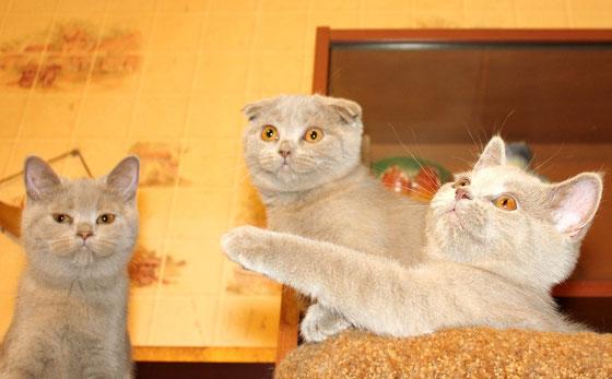 Шотландские и британские котята.