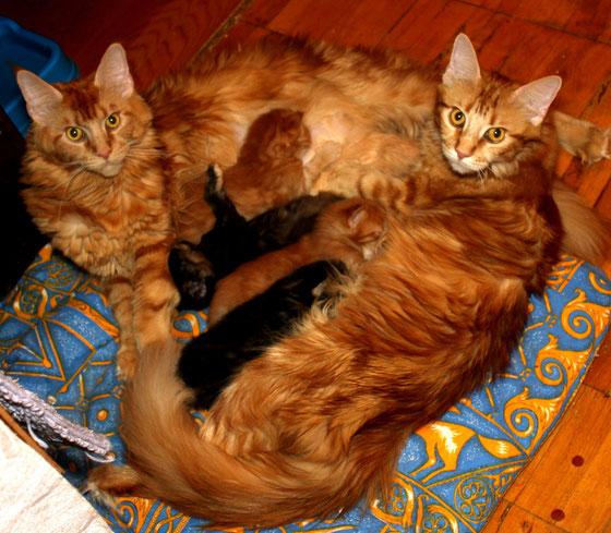 Кошки мейн кун растят котят совместно.
