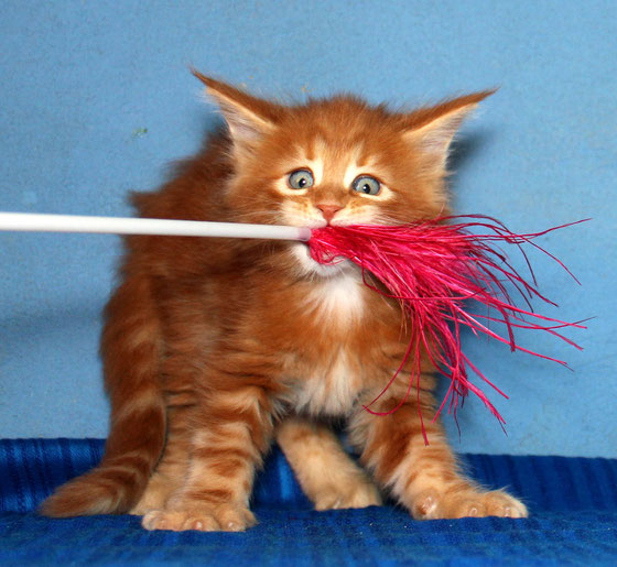 Рыжий кот на охоте