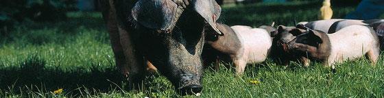 Schwäbischhall Qualitätsschweinefleisch