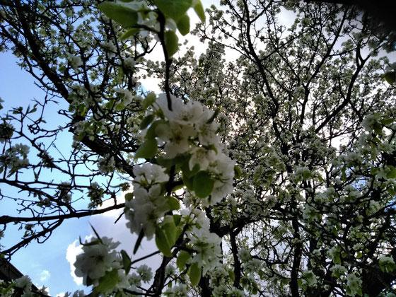 修道院の木  これ実は桜じゃなさそう この木何の木 気になる木~♪ どなたか教えてください(^^♪