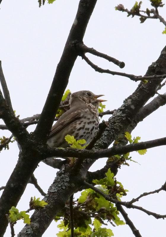 Freibrüter. Nest ab ca. 2 Meter Höhe, oft Fichten.
