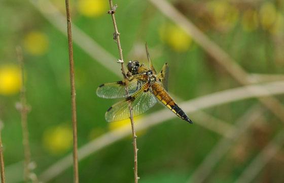 Vierfleck (Libellula quadrimaculata) an einem Teich. Die früher noch dichten Wanderschwärme sind heute nicht mehr zu beobachten. Flugzeit: Anfang Mai bis Mitte August.