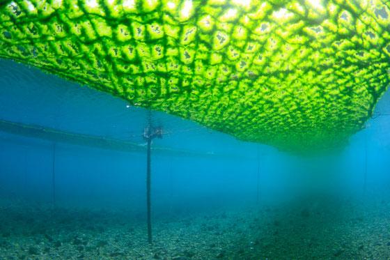天草のアオサ養殖 水中風景写真