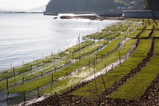 天草のアオサ養殖写真