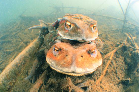 カエルダイブ 絶滅危惧種ニホンヒキガエルの繁殖行動