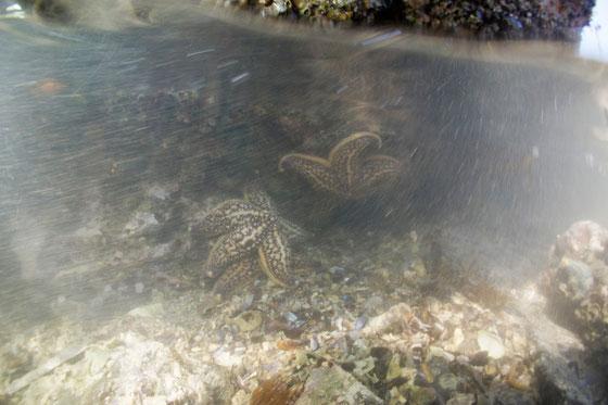 天草のヒトデ 水中の様子の写真