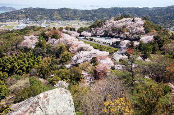 春の桜満開の千厳山写真