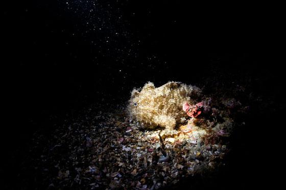水中スヌート撮影(スポットライト撮影) イメージ写真カエルアンコウ