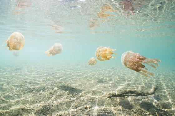 天草の魚イメージ写真 タコクラゲ