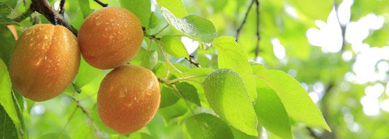 Scheibel Edles Fass Gold-Marille, die Aprikose oder Marillen kommen aus Österreich
