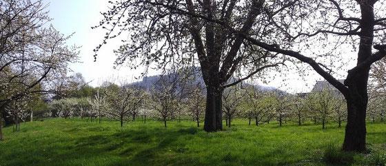 Streuobstwiese in Kappelrodeck - Heimat der Brennerei Scheibel