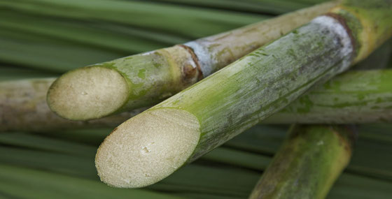 Zuckerrohr auf Barbados - Foto Remy Cointreau