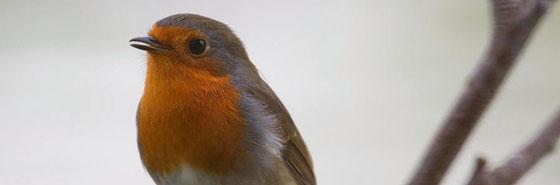 Redbreast (Robin) - das Rotkrehlchen