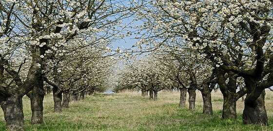 Kirschen aus Fougerolles