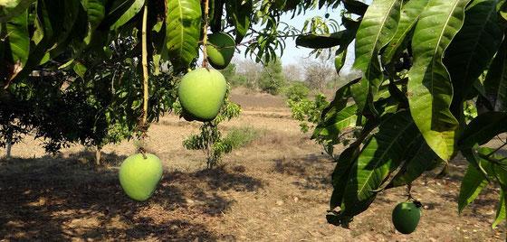 Antigua - Mango