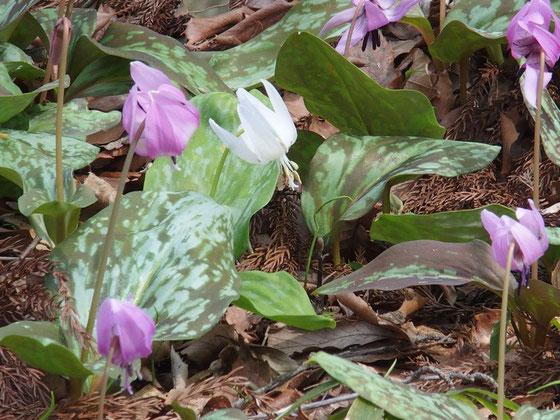 城山では相変わらず白花カタクリがたくさん見られました。