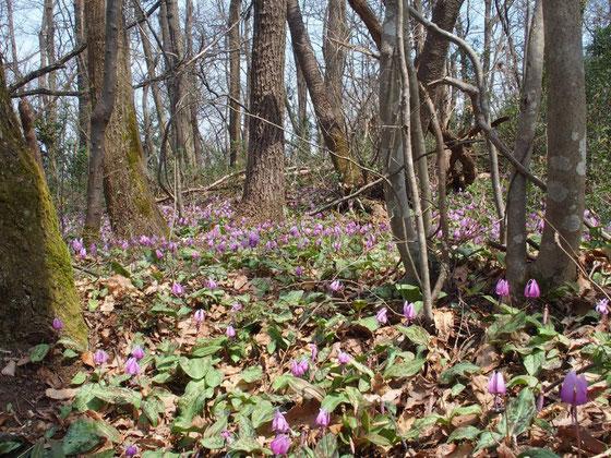 かなり大きな群生地で花の密度も高いので感激です。