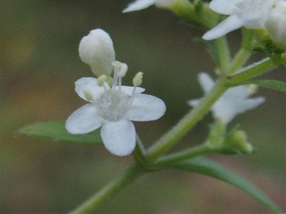 特徴はめしべの根本が綿毛のようなものに覆われていることです。                1cmにも満たない小さな花ですが、実に繊細な構造に魅せられました。