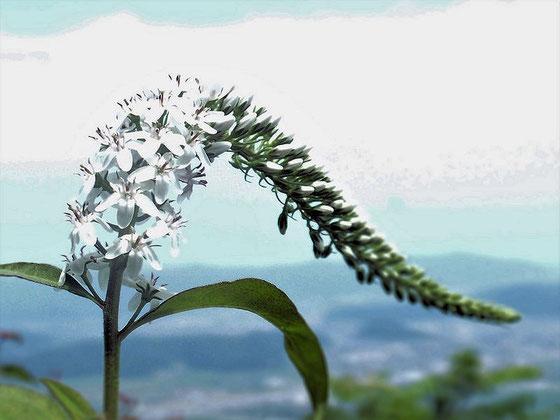 オカトラノオ 登山口から山頂までたくさん見かけます。                   よく見ると端正なつくりの花がよくもまぁこれだけ仲良く集まっているなぁぁ