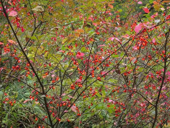 何本か見つけたコマユミ・・・実だけではなく紅葉も素晴らしい。