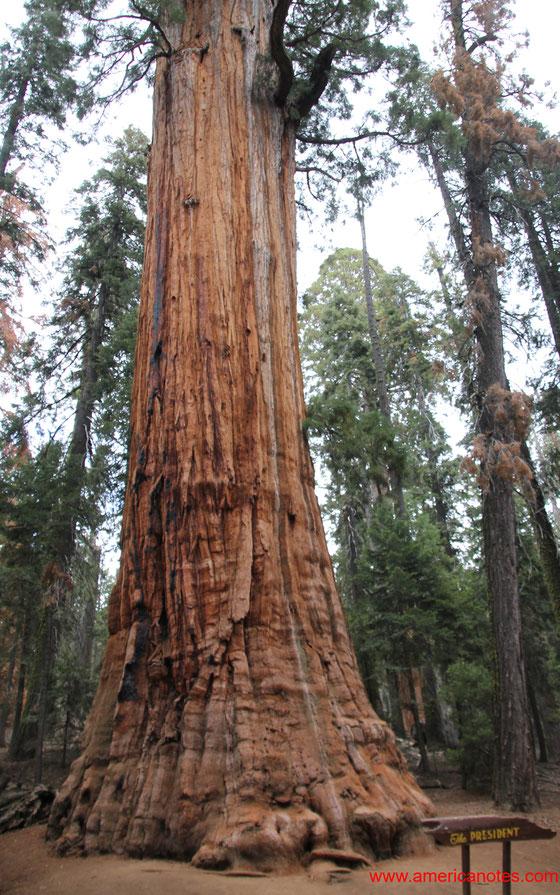 """Reisetipps und Sehenswürdigkeiten  im Sequoia Nationalpark. Mammutbaumes """"The President""""."""